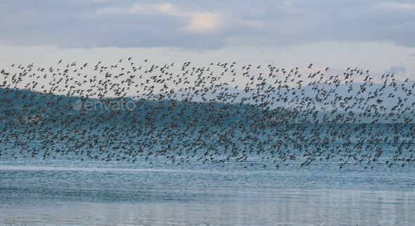 A flock of birds flying over a lake in a rural landscape. - Stock Photo - Images