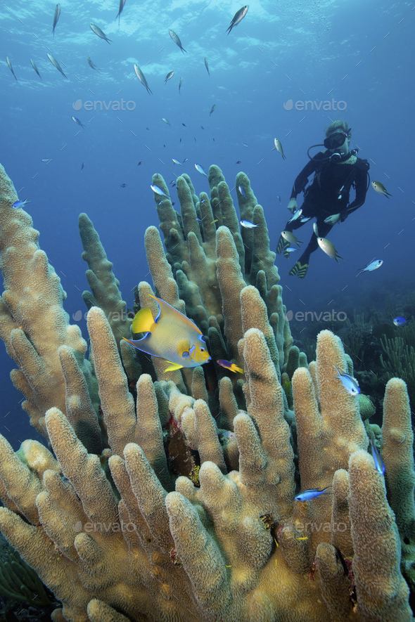 A diver looking at an angelfish swimming by Pillar coral. - Stock Photo - Images