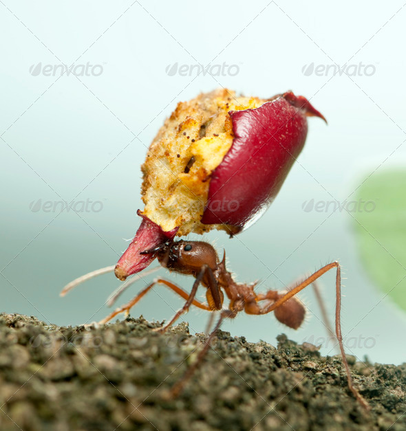 Leaf-cutter ant, Acromyrmex octospinosus, carrying eaten apple - Stock Photo - Images