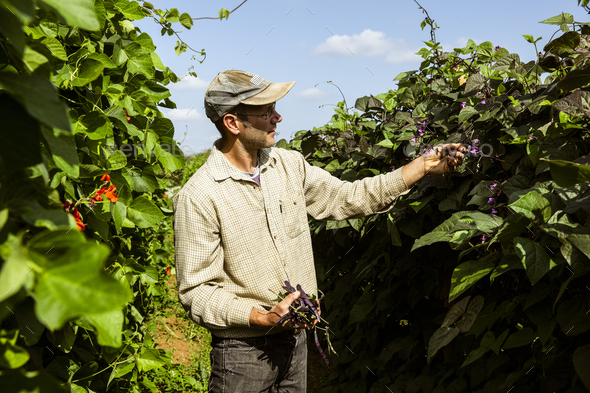 Farmer standing in a field, harvesting purple beans. - Stock Photo - Images