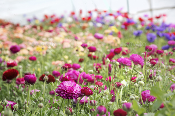Flowers growing in a polytunnel in an organic commercial flower nursery - Stock Photo - Images