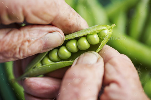 A man opening a peapod to see the fresh peas growing inside it - Stock Photo - Images