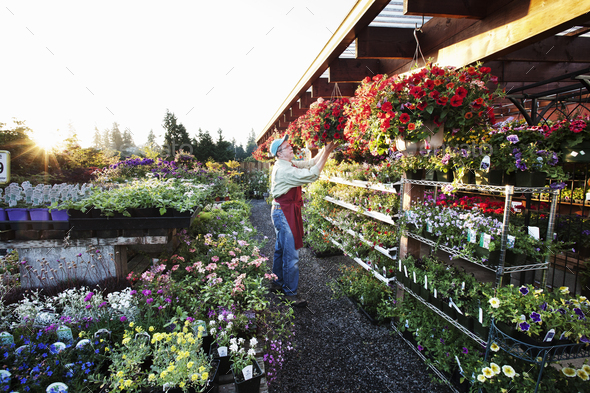 Nursery employee watering plants in the early monring. - Stock Photo - Images