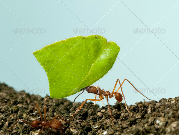 Leaf-cutter ant, Acromyrmex octospinosus, carrying leaf in front of blue background - Stock Photo - Images