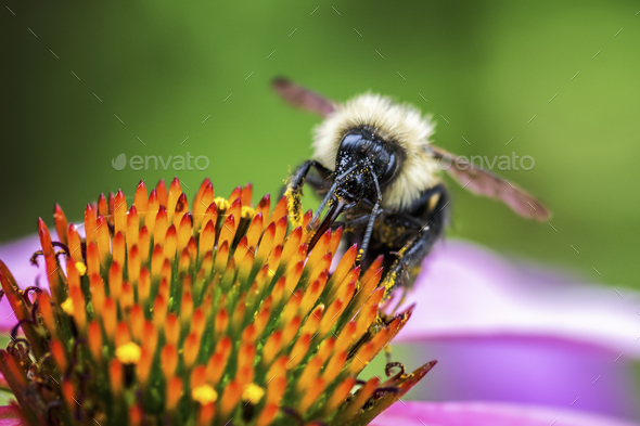 A bee feasting on the pollen of a flower with orange stamens. - Stock Photo - Images