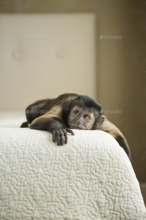 A capuchin monkey lying on a bed in a domestic home. - Stock Photo - Images