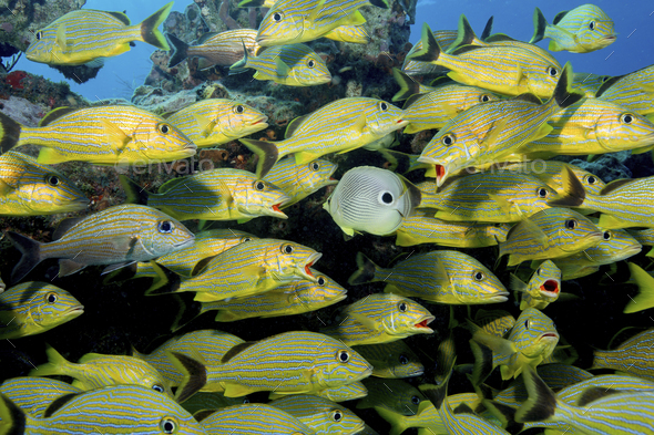 A large school of grunts (Blue-striped, Caesar, and French grunts) are approached by a Foureye - Stock Photo - Images