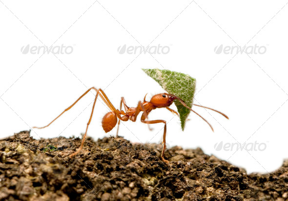 Leaf-cutter ant, Acromyrmex octospinosus, carrying leaf in front of white background - Stock Photo - Images