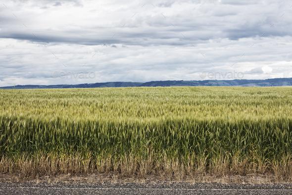 Wheat field areas of eastern Washington, USA - Stock Photo - Images