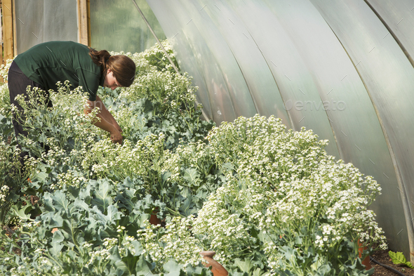 A woman working in a polytunnel in a large vegetable garden, bending to tend plants and pick - Stock Photo - Images