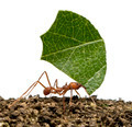 Leaf-cutter ant, Acromyrmex octospinosus, carrying leaf in front of white background - PhotoDune Item for Sale