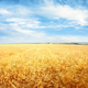 Sky and wheat field landscape. Nature horizontal background. - PhotoDune Item for Sale