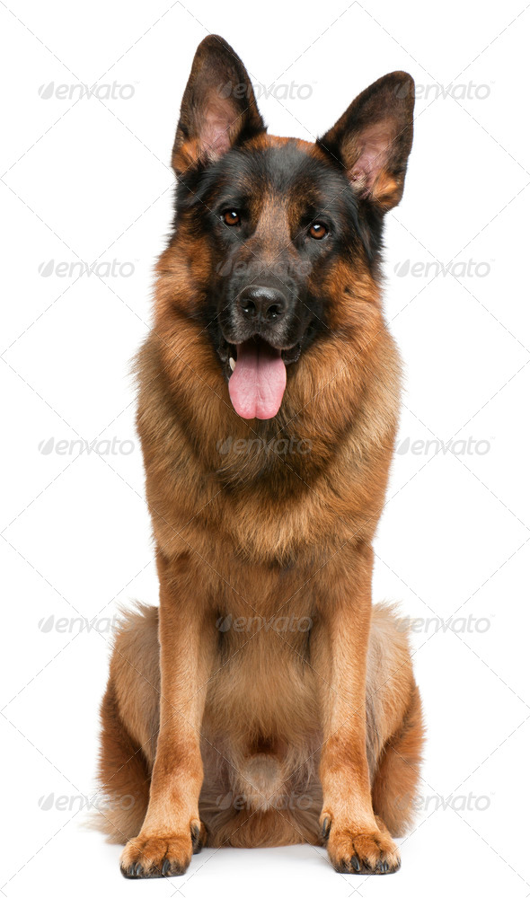 German Shepherd Dog, 3 years old, sitting in front of white background - Stock Photo - Images