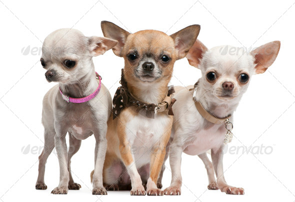 Chihuahuas, 2 years old, standing in front of white background - Stock Photo - Images