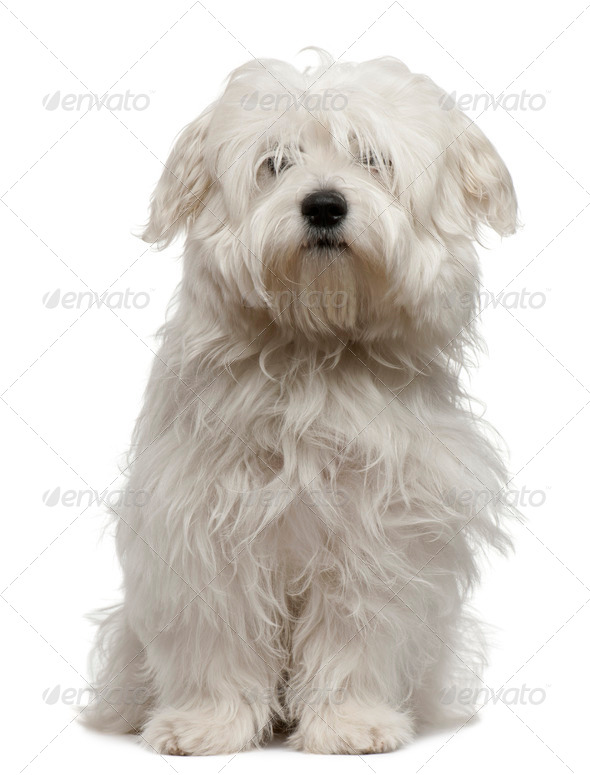 Coton de Tulear puppy, 5 months old, sitting in front of white background - Stock Photo - Images