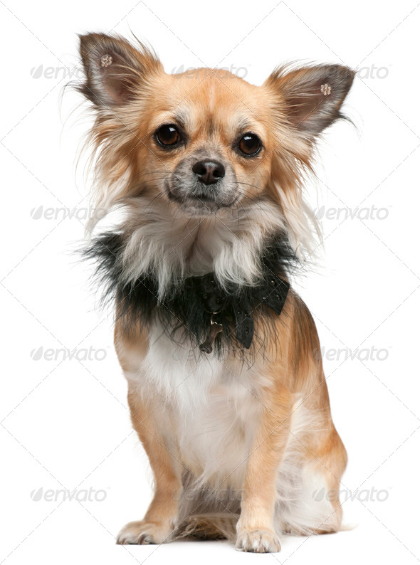 Chihuahua, 16 months old, sitting in front of white background - Stock Photo - Images