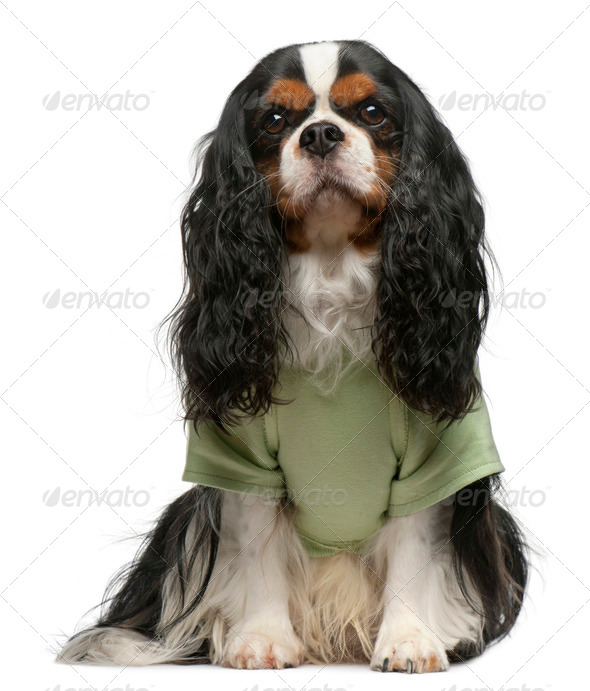 Cavalier King Charles Spaniel, 5 years old, dressed up and sitting in front of white background - Stock Photo - Images