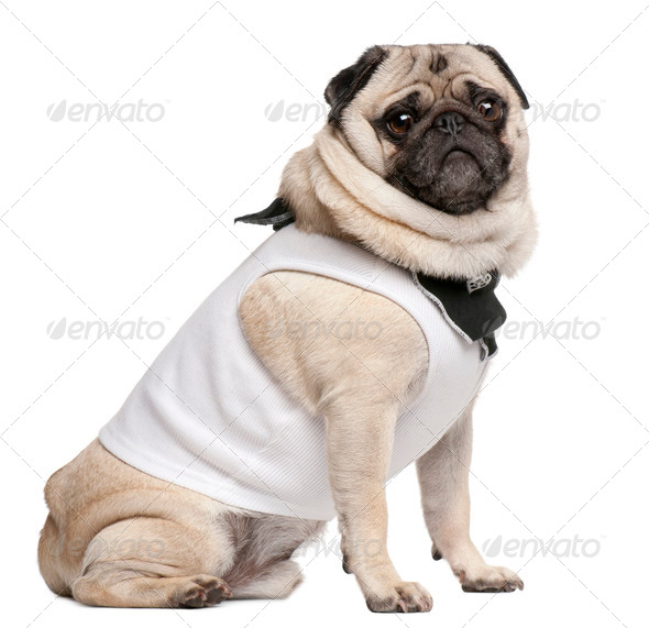 Pug, 4 years old, dressed up and sitting in front of white background - Stock Photo - Images