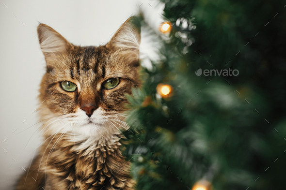 Tabby cat with green eyes sitting with funny emotions at christmas tree with lights - Stock Photo - Images