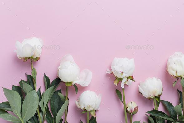 White elegant peony on the pink background - Stock Photo - Images