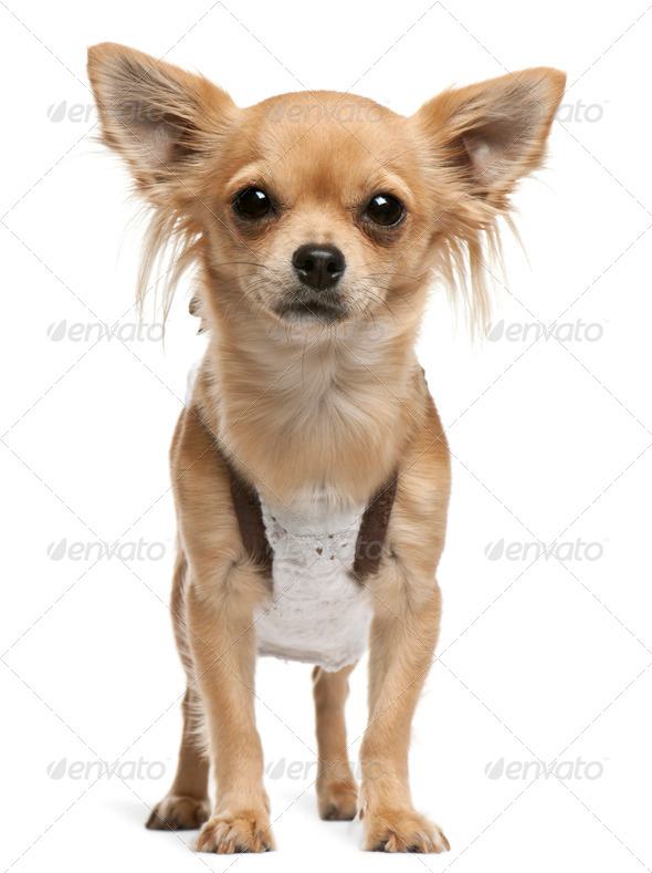 Chihuahua,14 months old, standing in front of white background - Stock Photo - Images