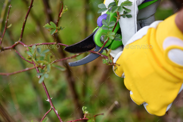 Spring pruning roses in the garden, gardener's hands with secateur - Stock Photo - Images