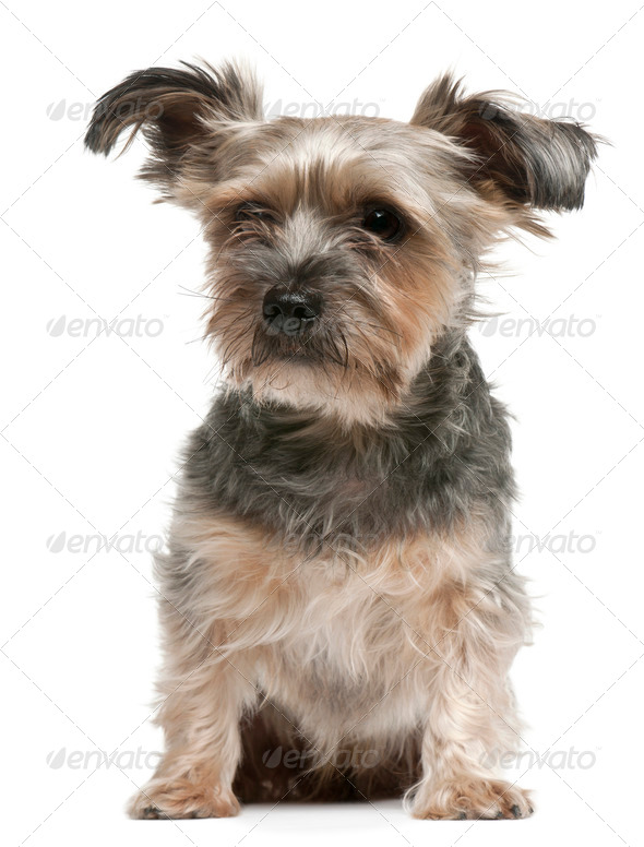 Yorkshire Terrier, 3 years old, sitting in front of white background - Stock Photo - Images