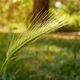 Macro of ear of green wheat in the park. - PhotoDune Item for Sale