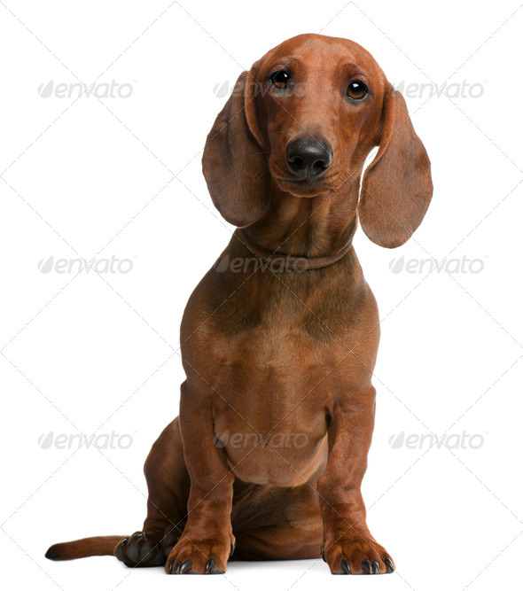 Dachshund puppy, 6 months old, sitting in front of white background - Stock Photo - Images