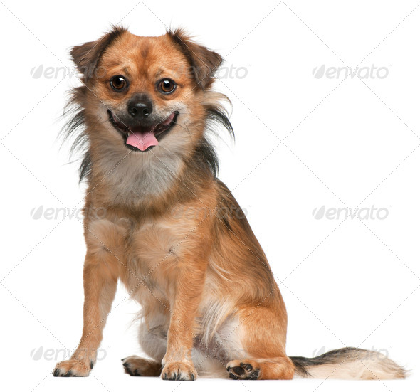 Dog,18 months old, sitting in front of white background - Stock Photo - Images