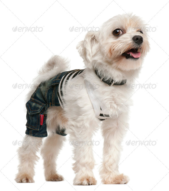Dog wearing jeans ,4 years old, dressed up and standing in front of white background - Stock Photo - Images
