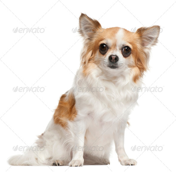 Chihuahua, 3 years old, sitting in front of white background - Stock Photo - Images