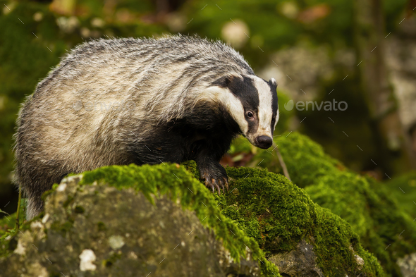 European badger walking on rocks with green moss in summer forest - Stock Photo - Images