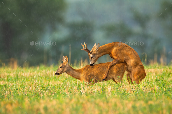 Roe deer buck and doe mating in rutting season on a stubble field - Stock Photo - Images