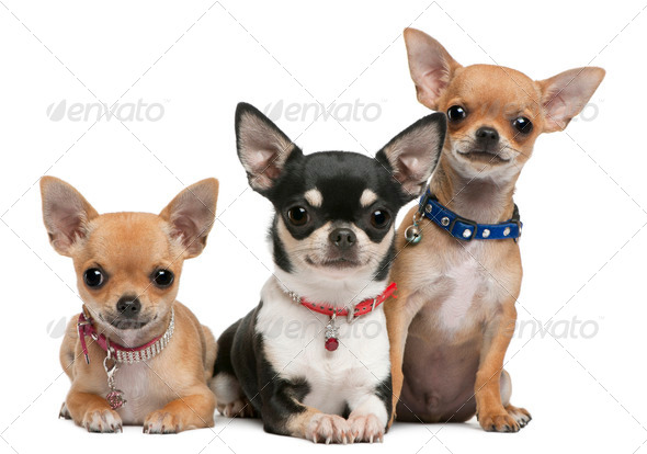 Chihuahuas, 3 years old, 2 years old, 3 months old, sitting in front of white background - Stock Photo - Images