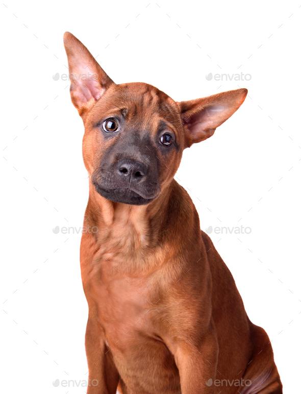 Thai Ridgeback dog - Stock Photo - Images
