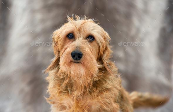 Doberman Pinscher puppy - Stock Photo - Images