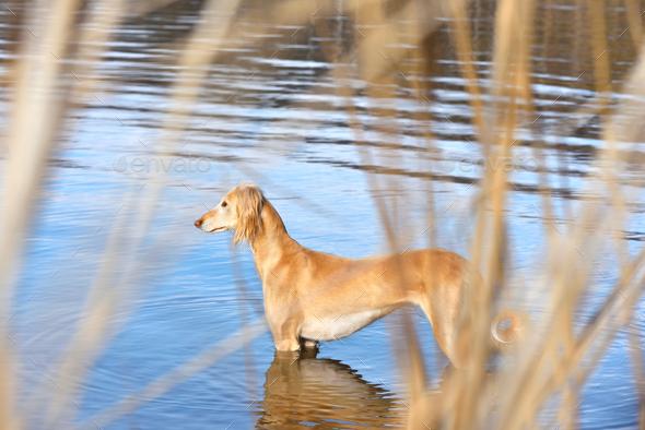 Beautiful borzoi dog Saluki - Stock Photo - Images