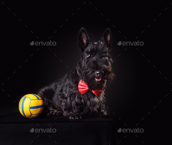 Scotch terrier puppy - Stock Photo - Images