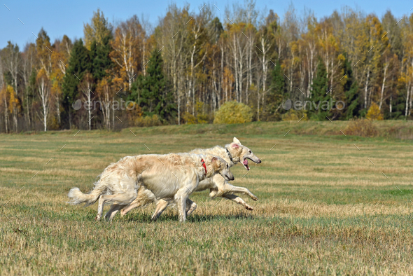 Running dogs - Stock Photo - Images