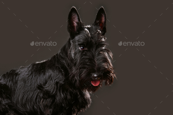 Scotch terrier - Stock Photo - Images