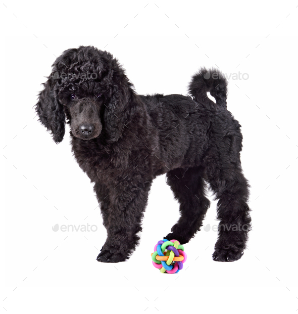Puppy of black poodle - Stock Photo - Images