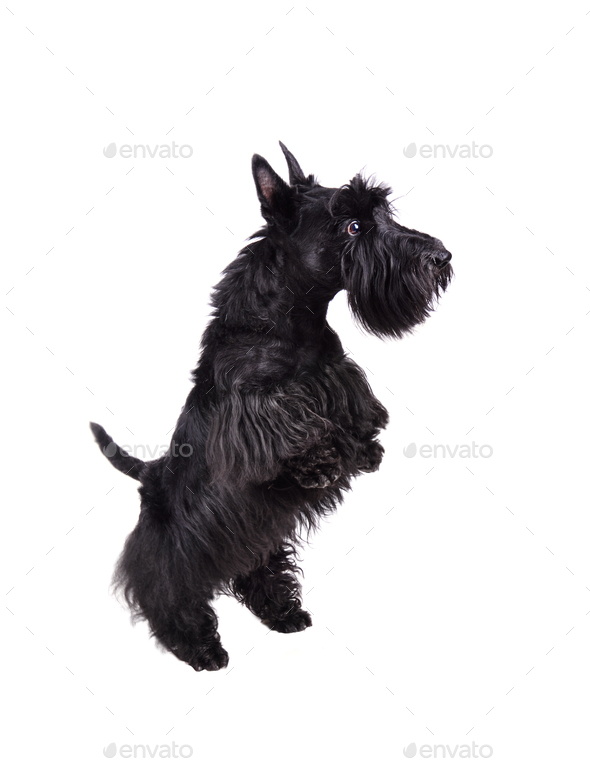 Black scotch terrier - Stock Photo - Images
