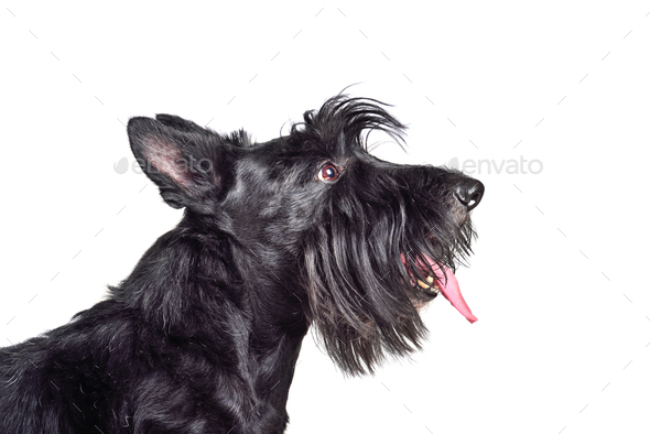Black scotch terrier - Stock Photo - Images