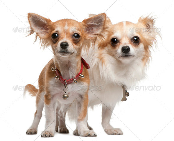 Chihuahuas, 2 years old, 5 months old, standing in front of white background - Stock Photo - Images