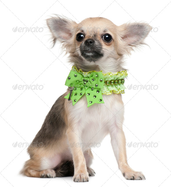 Chihuahua puppy, 6 months old, dressed up and sitting in front of white background - Stock Photo - Images
