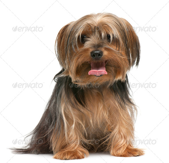 Yorkshire Terrier, 18 months old, sitting in front of white background - Stock Photo - Images