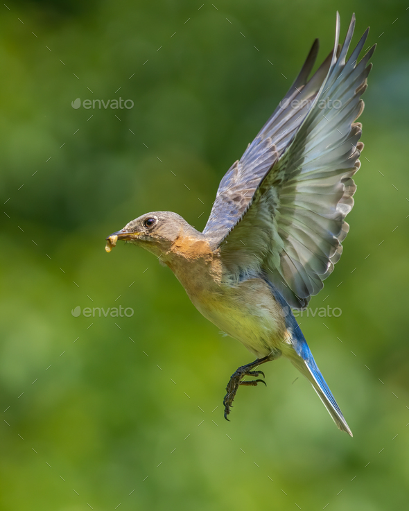Eastern Bluebird with Insect - Stock Photo - Images