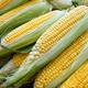 Organic Raw Vegetable Corn - PhotoDune Item for Sale