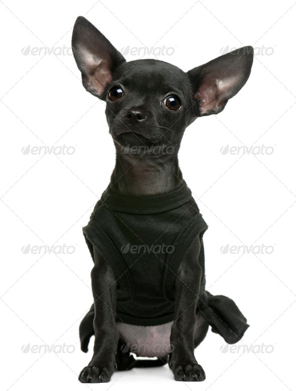 Chihuahua puppy, 3 months old, dressed up and sitting in front of white background - Stock Photo - Images